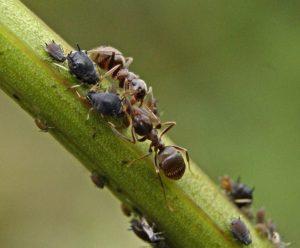 Какие растения не любят садовые муравьи и их названия