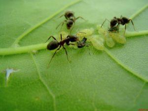 Какие растения высадить от муравьев