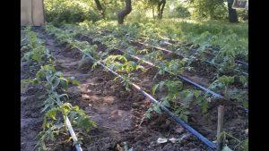 Универсальные способы полива помидоров
