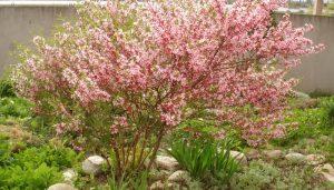 Как можно посадить миндаль на дачном участке