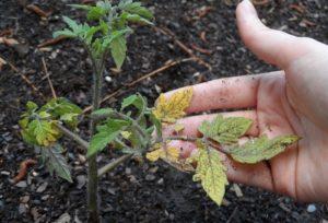 спасти рассаду помидоров от увядания