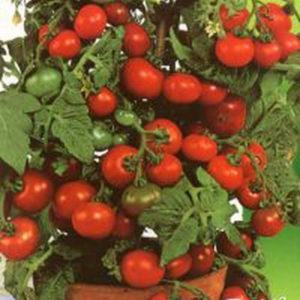 Выращивание детерминантных помидоров
