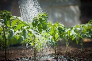 Как нужно правильно поливать рассаду огурцов