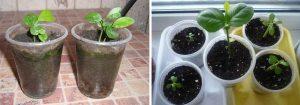 Как посадить лимон из косточки на дачном участке