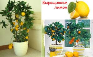Как посадить лимон из косточки