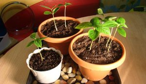 Как посадить персик из косточки на дачном участке
