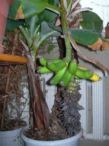 Как правильно посадить банан в домашних условиях