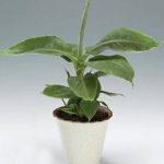 посадить банан в домашних условиях