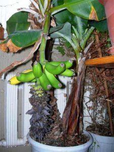 Уход за бананом по правилам
