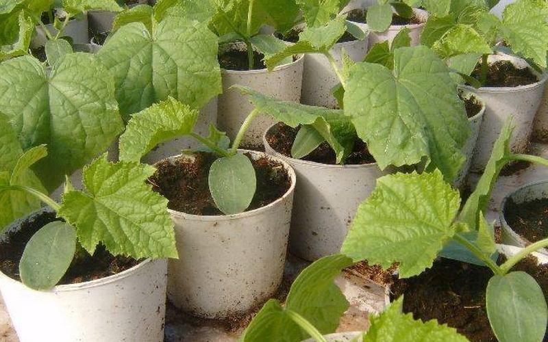 как прорастить семена тыквы для посадки