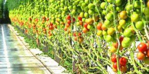 Как правильно формировать куст помидоров в теплице и открытом грунте