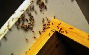 Как эффективно избавиться от красных муравье