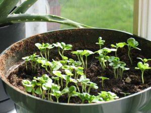 Когда нужно высаживать рассаду базилика в открытый грунт
