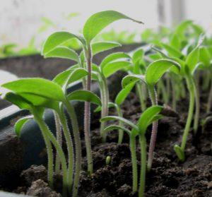 На какой день после посева обычно всходят семена огурцов
