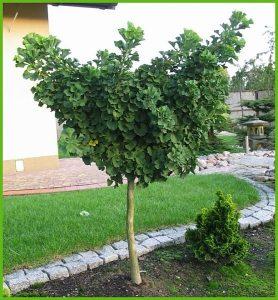 Как вырастить плоды гинкго билоба