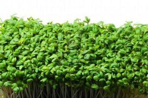 выращивания кресс-салата на дачном участке
