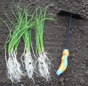 Особенности выращивания Эксибишен сразу на грядке