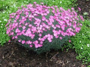 Особенности посадки и ухода за садовой многолетней гвоздикой