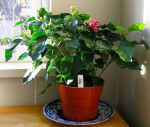 Посадка и уход за садовым гибискусом