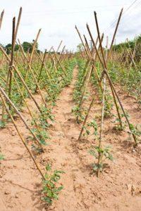 Пошаговое выращивание вигны кудесницы