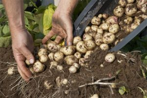 Возможные трудности выращивания картофеля из семян