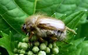 Эффективная борьба с майским жуком на садовом участке