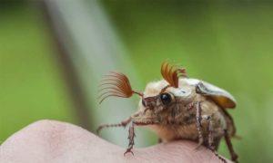 Чем плох майский жук