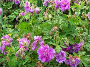 Особенности посадки и ухода за гималайской садовой геранью