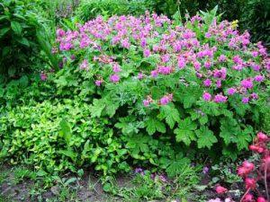 ухода за гималайской садовой геранью