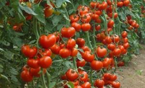 Чем и как опрыскивать помидоры в разных ситуациях