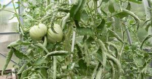 Чем опырскивать помидоры, если скручиваются листья