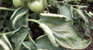 Чем можно опрыскивать помидоры, если скручиваются листья