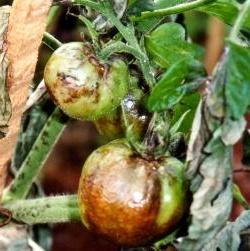 Чем можно опрыскивать помидоры от фитофторы