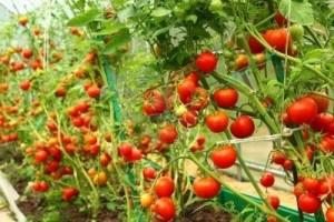Чем можно опрыскивать помидоры после дождя