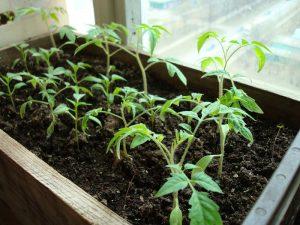 Что делать, если рассада помидоров тонкая и длинная