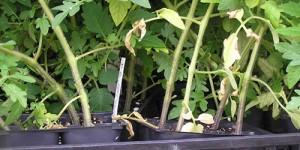 Что делать, если сохнут листья у рассады помидоров