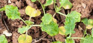 Что делать, если желтеет рассада капусты
