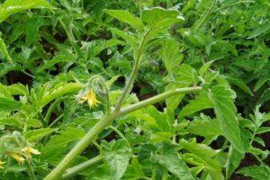 Что делать, если помидоры в теплице жируют