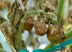 Как можно бороться с фитофторой на помидорах в теплице