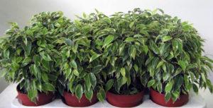 Как посадить фикус отростком