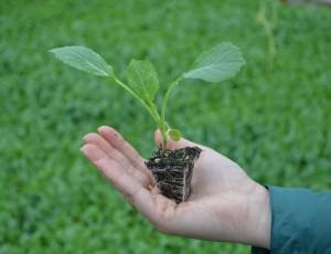 Когда нужно сеять капусту на рассаду