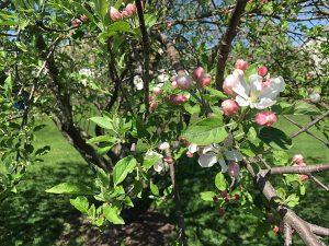 Подкормка плодовых деревьев после цветения