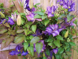 Пошаговая подкормка клематиса для обильного цветения