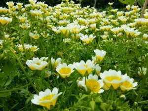 Пошаговое выращивание лимнантеса из семян