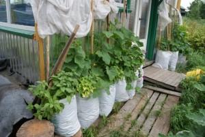 Выращивание огурцов в мешках из под сахара
