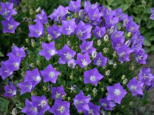 Выращивание садовой многолетней кампанулы