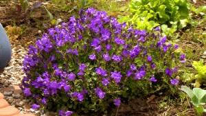 Выращивание многолетней садовой кампанулы