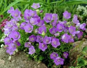 Выращивание карпатского колокольчика