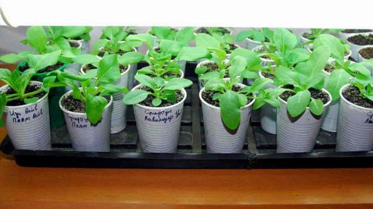 арктотис выращивание из семян в домашних