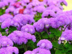 низкорослые садовые цветы для дачи